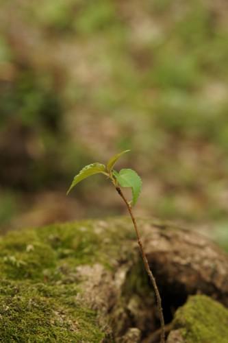 倒れた幹から新芽が顔を出す