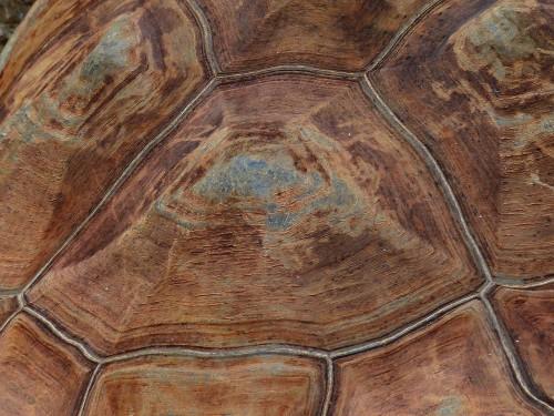 ゾウガメの甲羅の幾何学模様のアップ
