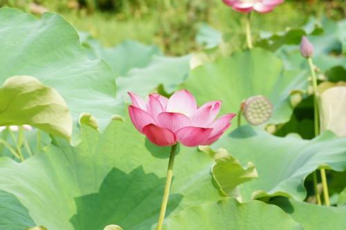 濃いピンク色の蓮の花