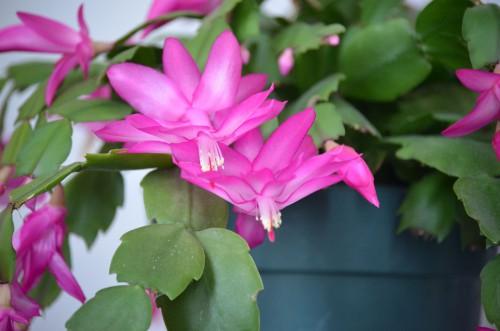 濃いピンクのシャコバサボテンの花