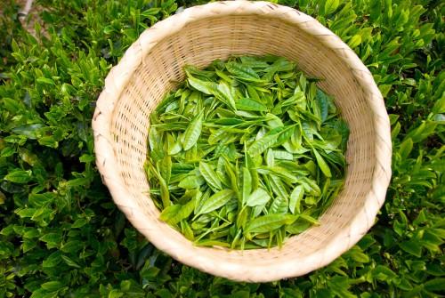 ザルの中に積まれた新茶の芽