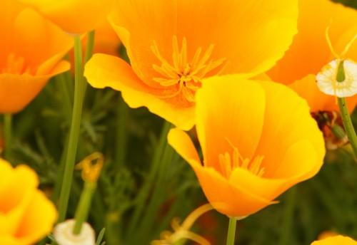 オレンジ色のハナビシソウの花