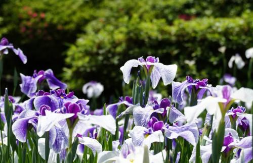 濃い赤紫と白い花びらの花菖蒲の群生