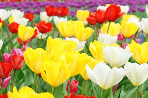 赤、白、黄色、紫のチューリップ畑