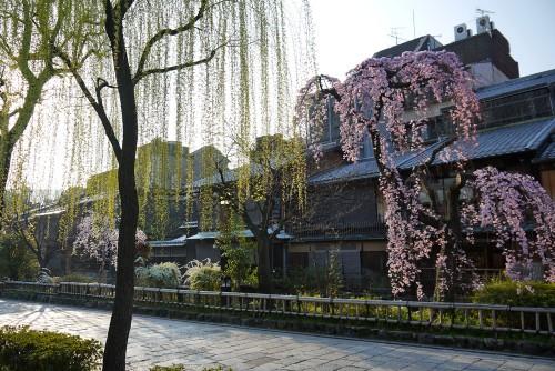 京都の祇園白川沿いの桜と柳