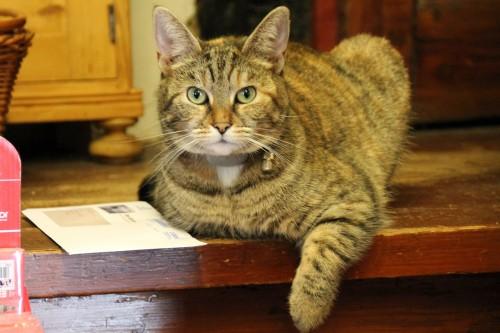 机の上でくつろぐとらじまの猫