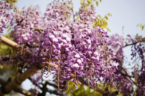 満開の紫色の藤の花