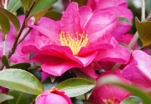 濃いピンク色の山茶花の花
