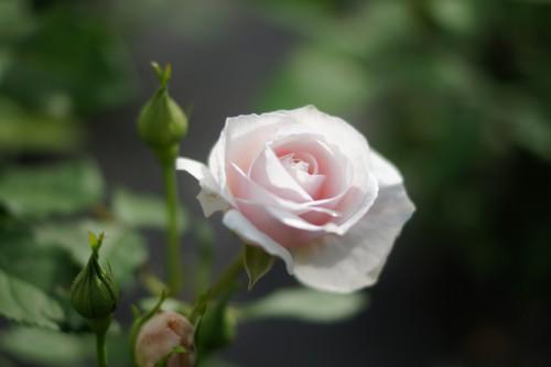一輪の淡いピンクの薔薇