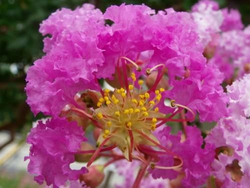 百日紅の花の接写