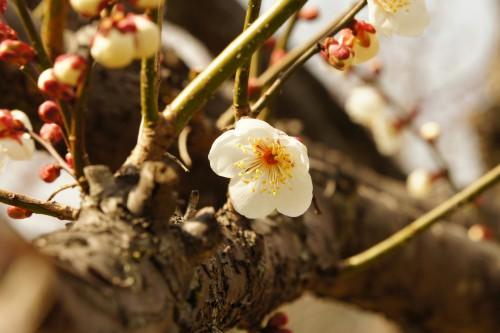 白梅が一輪開花