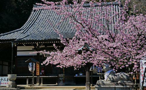 京都の嵐山の法輪寺の本堂と右側に満開の桜がおさまった写真