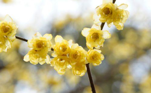 満開のロウバイの花